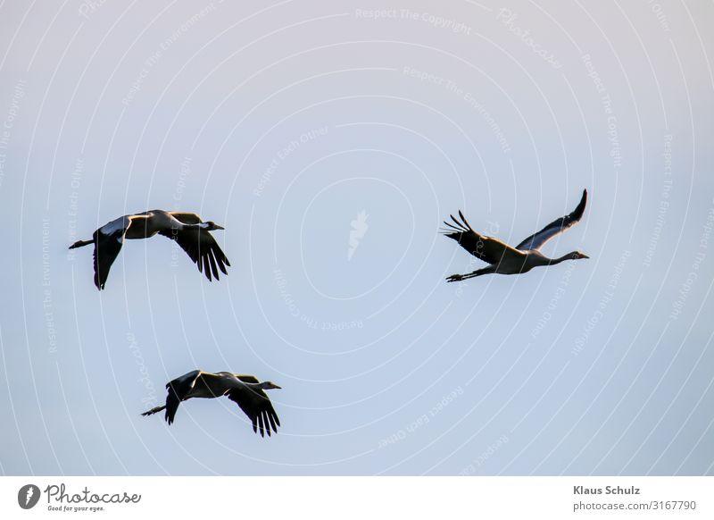 Kranische im Flug Kraniche Schreitvögel Vögel Natur Himmel Zugvögel Schwingen