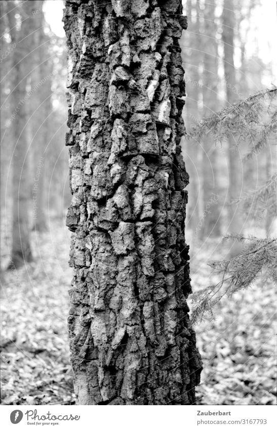 Baumstamm Natur Baumstruktur Baumrinde Wald alt stehen Wachstum authentisch natürlich stark grau schwarz Tapferkeit Kraft Verlässlichkeit ruhig Ehrlichkeit