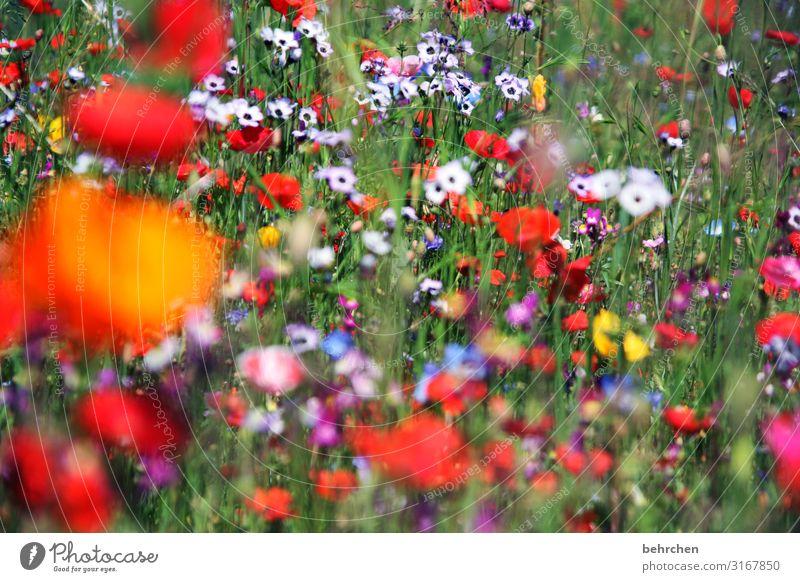unscharf | mo(h)ntag Umwelt Natur Landschaft Pflanze Blume Gras Blatt Blüte Wildpflanze Mohn Garten Park Wiese Feld Blühend Duft frisch schön mehrfarbig