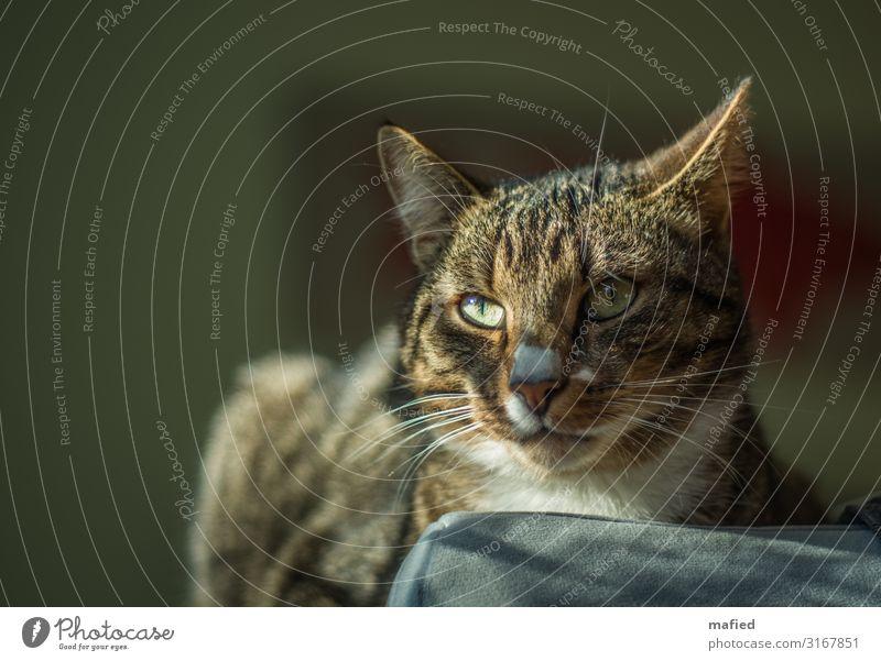 Hier Check Ich Alles Tier Haustier Katze Tiergesicht Fell Hauskatze 1 beobachten Coolness Freundlichkeit braun grau grün weiß selbstbewußt Tierliebe