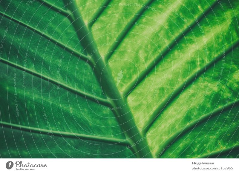 Blatt Blätter grün hellgrün Pflanze Lichterscheinung Schatten Stängel Sonne Vergrößerung Gewächs Palme Palmenblatt