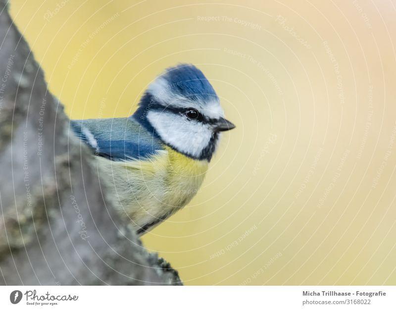 Blaumeise schaut hervor Natur Tier Sonne Sonnenlicht Schönes Wetter Baum Ast Wildtier Vogel Tiergesicht Flügel Meisen Kopf Schnabel Auge Feder gefiedert 1