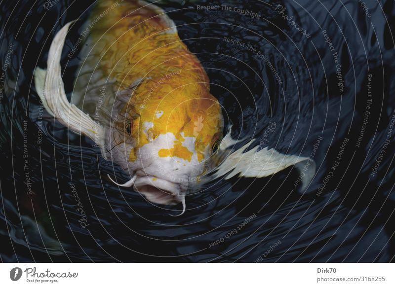 Koi-Karpfen Lifestyle Reichtum Schwimmbad Garten Umwelt Wasser Teich See Wellen Gartenteich Tier Haustier Fisch Tiergesicht Aquarium Zierfische 1