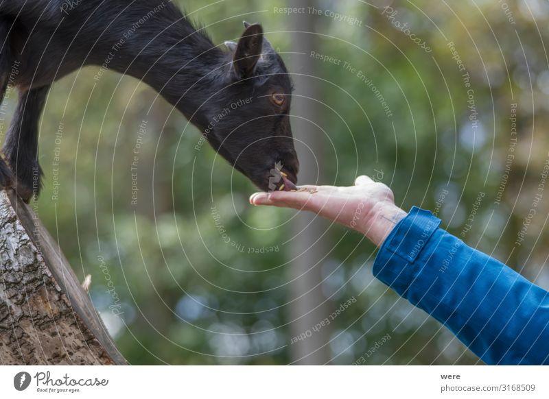 goat feeding Natur Fressen Herd & Backofen füttern