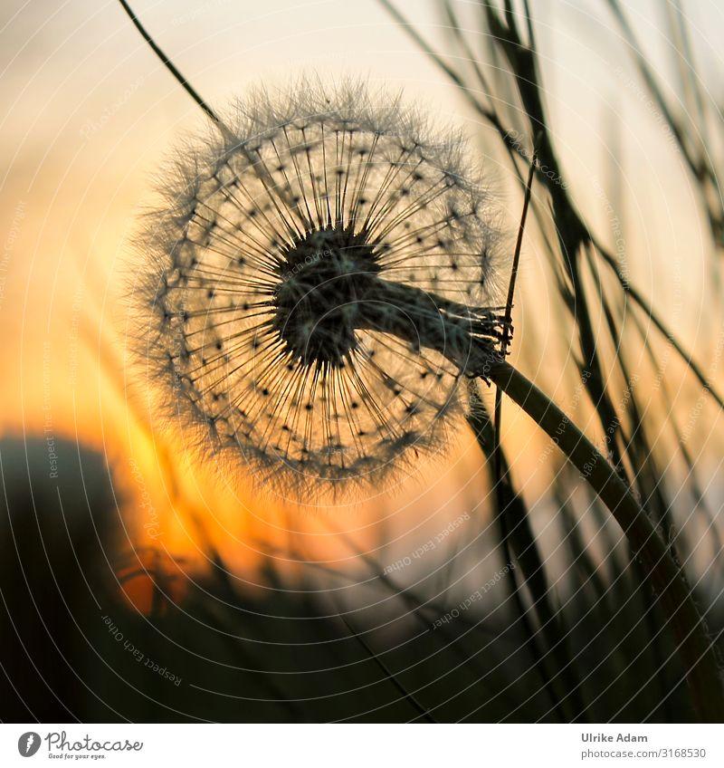 Löwenzahn - Pusteblume im warmen Licht bei Sonnenuntergang harmonisch Zufriedenheit Wohlgefühl Erholung ruhig Meditation Trauerkarte Spa Postkarte Trauerfeier