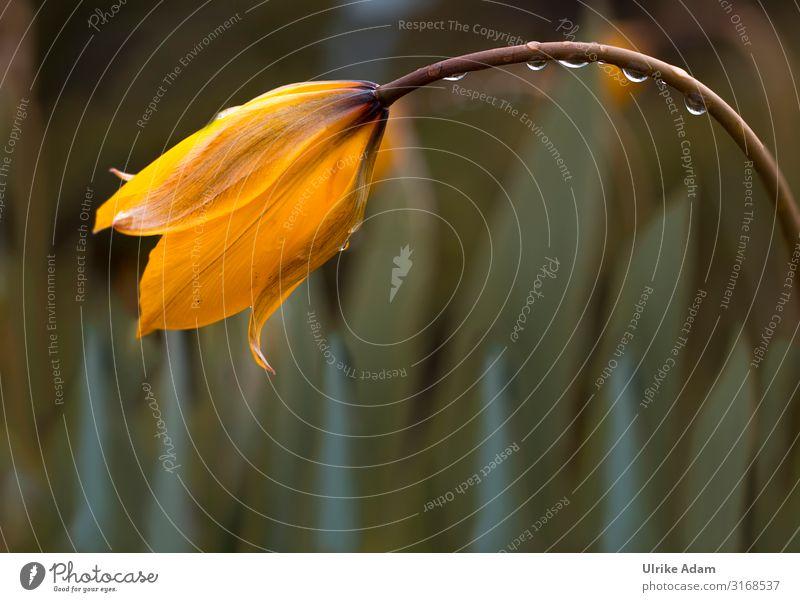 Zwergtulpe Natur Pflanze Blume Leben gelb Blüte Frühling Garten Zufriedenheit Dekoration & Verzierung Regen elegant Geburtstag Wassertropfen Blühend Ostern
