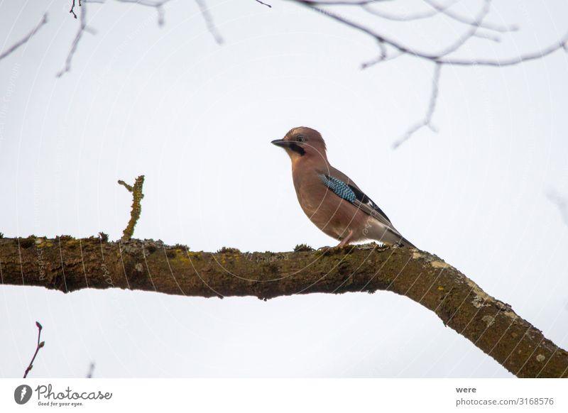 Blue jay on a mossy branch Natur Tier Vogel sitzen beobachten Eichelhäher