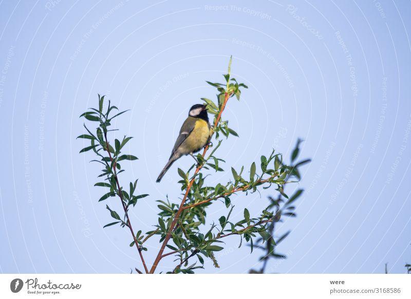 Great tit on a willow branch Natur blau Tier schwarz gelb klein Vogel Wildtier Meisen