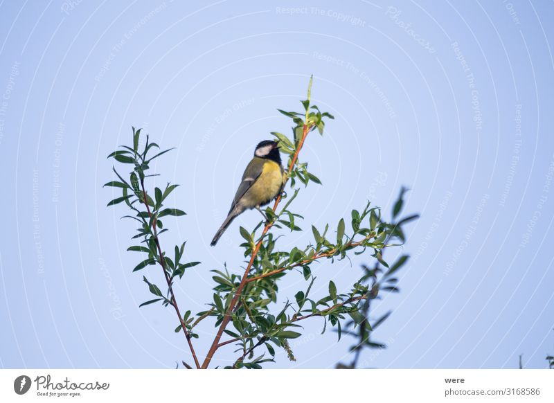 Great tit on a willow branch Natur Tier Wildtier Vogel Meisen klein blau gelb schwarz animal bird copy space feathers fly great tit nobody songbird tree wings