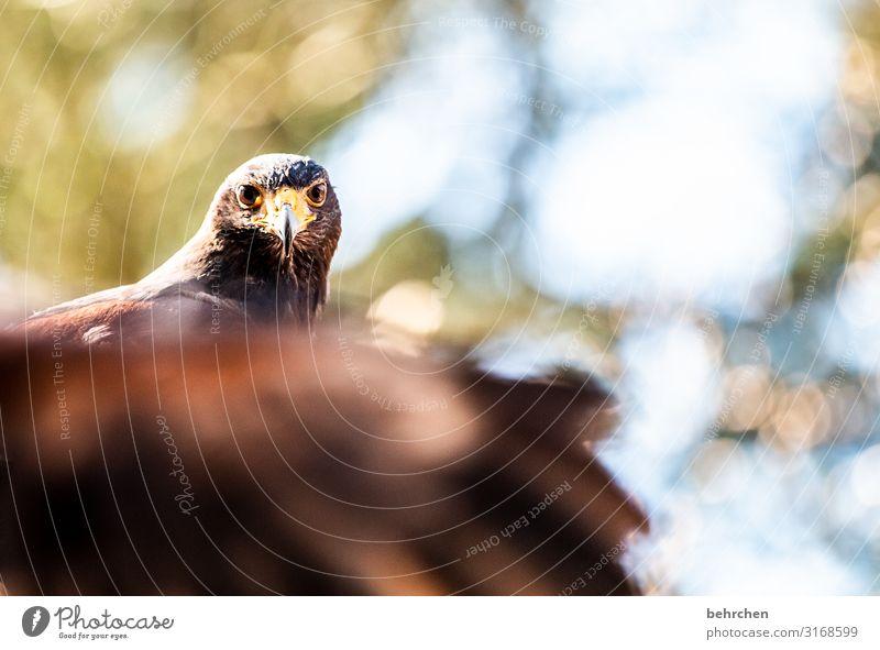 unscharf | beflügelt Wildtier Vogel Tiergesicht Flügel Feder Adler Weisskopfseeadler außergewöhnlich fantastisch schön Schnabel Stolz erhaben beeindruckend