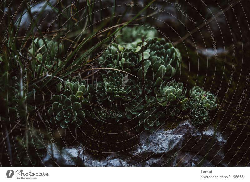 Pflanzen auf Felsen Kakteen fels Leben wachsen gedeihen grün Nahaufnahme Blume Kaktus Natur schön botanisch natürlich Sukkulenten Schwäbische Alb