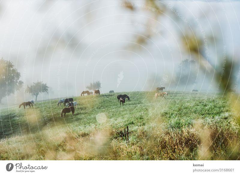 Pferde auf der Weide am frühen Morgen Landschaft Landleben ländlich Idylle Koppel Wiese morgens Frühnebel Morgennebel grün viele Herde Natur Feld Tier