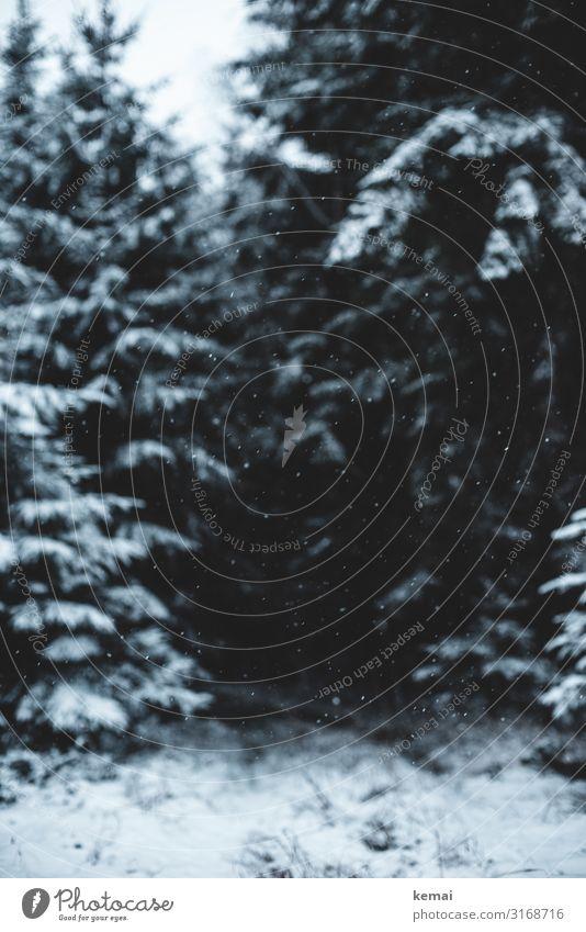 Leise rieselt der Schnee harmonisch Wohlgefühl Sinnesorgane ruhig Abenteuer Freiheit Natur Pflanze Winter Wetter Eis Frost Schneefall Baum Fichte Nadelwald Wald