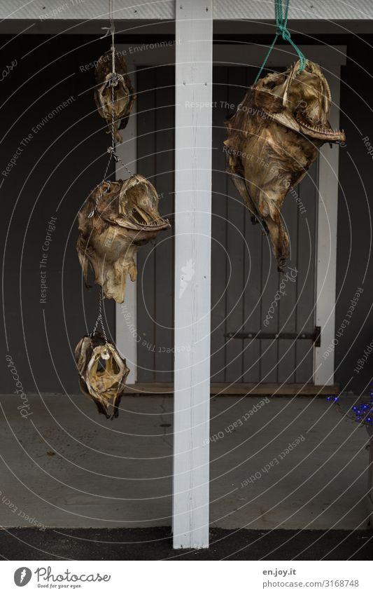 Windspiel Fisch Stockfisch Ferien & Urlaub & Reisen Lofoten Norwegen Skandinavien bizarr skurril Tourismus Tradition trocknen Trockenfisch hängen Balken