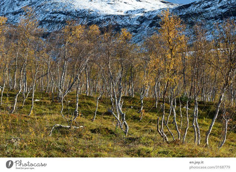 Birkenwäldle Ferien & Urlaub & Reisen Umwelt Natur Landschaft Pflanze Herbst Schönes Wetter Schnee Birkenwald Wiese Wald Felsen Berge u. Gebirge Lofoten