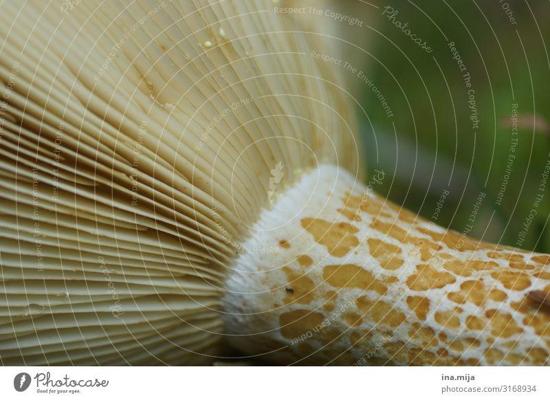 Schwammerl Ernährung Umwelt Natur Pflanze Herbst Pilz Pilzhut Pilzsucher Wald Farbfoto Gedeckte Farben mehrfarbig Außenaufnahme Detailaufnahme Makroaufnahme