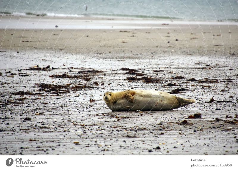Chillen am Strand Umwelt Natur Landschaft Urelemente Erde Sand Wasser Herbst Wellen Küste Nordsee Meer Insel Tier Wildtier Fell 1 frei heiß maritim nass