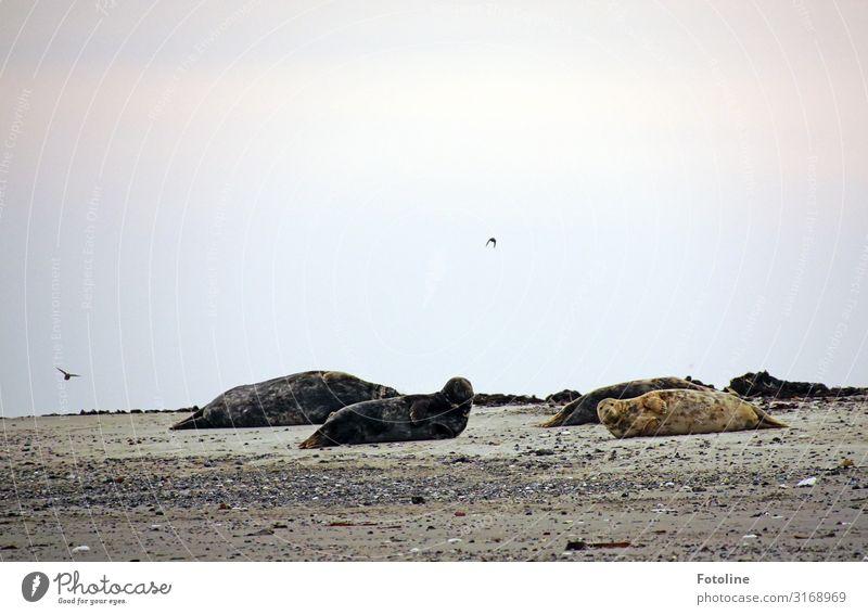 Kolonie Umwelt Natur Landschaft Tier Urelemente Erde Sand Himmel Wolken Horizont Herbst Küste Strand Nordsee Wildtier Fell Tiergruppe dick frei hell natürlich
