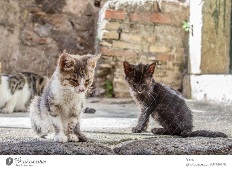 Straßenkätzchen Sizilien Dorf Mauer Wand Tier Katze 2 3 klein grau weiß Traurigkeit Schicksal Farbfoto Gedeckte Farben Außenaufnahme Menschenleer Tag