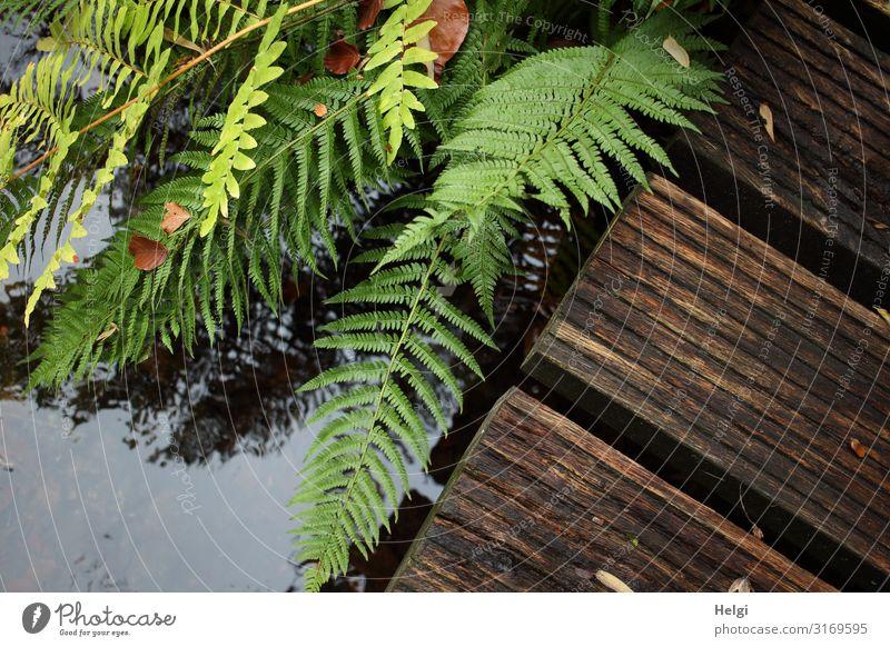 grüne Farnblätter an einem Holzsteg über einem Bach Umwelt Natur Pflanze Wasser Herbst Schönes Wetter Park Steg Wachstum ästhetisch authentisch einzigartig nass