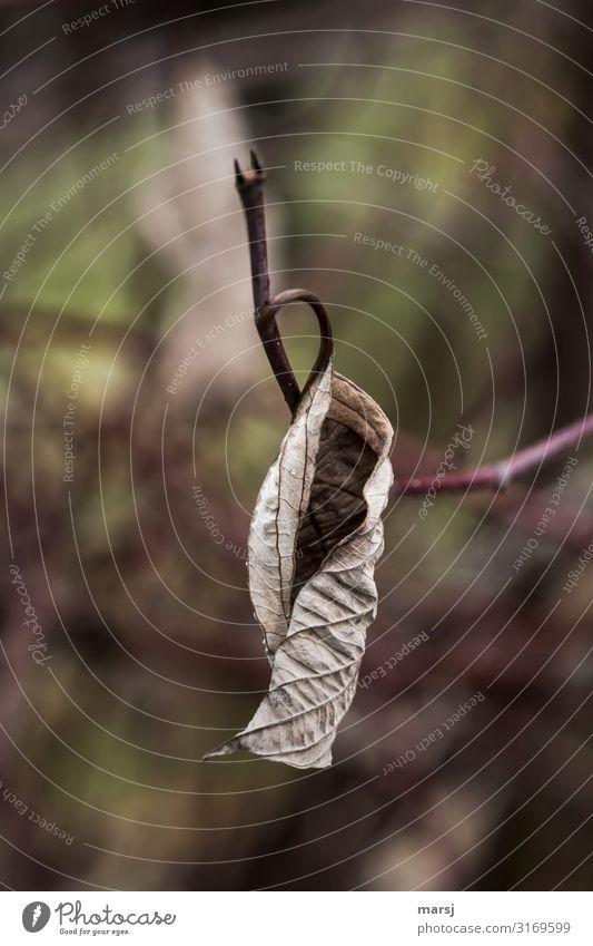 Schön eingekringelt Natur Herbst Pflanze Blatt alt hängen dunkel authentisch einfach elegant braun Traurigkeit Trauer Tod Müdigkeit Schmerz Enttäuschung