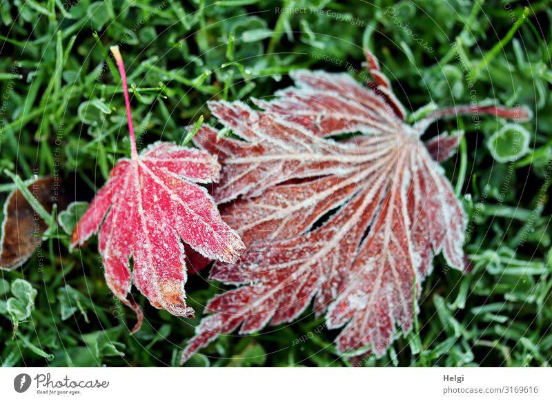 mit Raureif bedeckte rote Ahornblätter liegen auf einer Wiese Umwelt Natur Pflanze Herbst Winter Eis Frost Gras Blatt Ahornblatt Blattadern Garten alt frieren