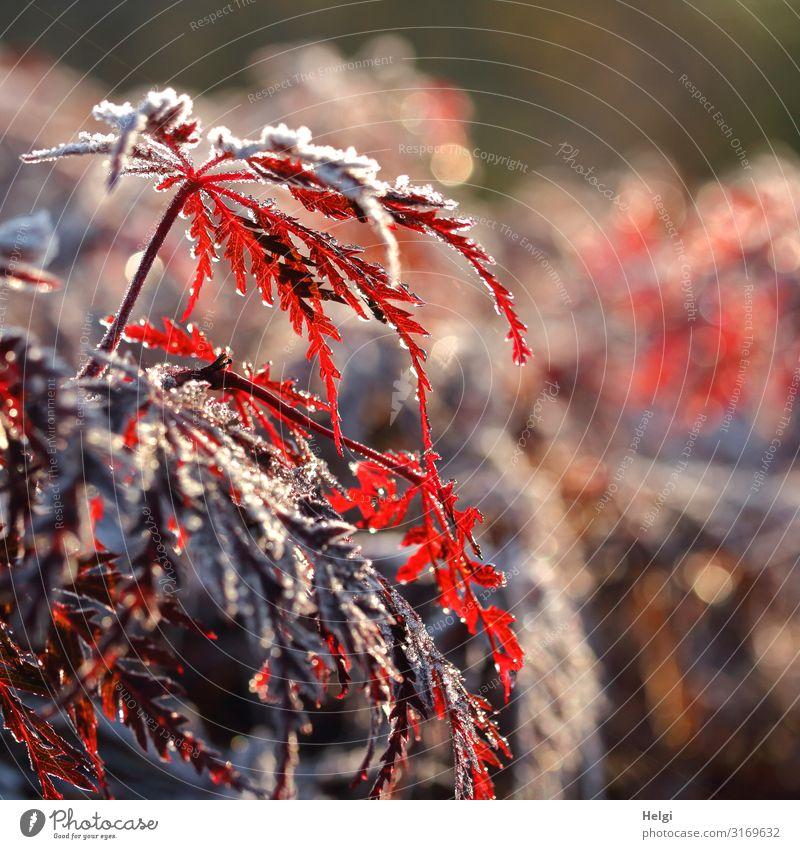 rote  Ahornblättern an Zweigen bedeckt mit Raureif im Gegenlicht mit Bokeh Umwelt Natur Pflanze Herbst Winter Eis Frost Baum Blatt Ahornblatt Park glänzend