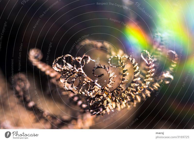 Sich kringelnder, trockener Farn mit bunten Lichteffekten Wildpflanze Herbst gedreht Spirale Lichtbrechung Traurigkeit Herbstgold leuchten Spinnenfäden