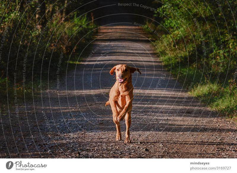 Ein junger Labrador rennt auf uns zu Umwelt Natur Herbst Baum Sträucher Wald Wege & Pfade Tier Haustier Hund gebrauchen Bewegung rennen sportlich blond frisch