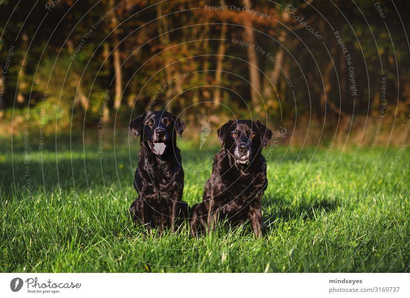 Zwei schwarze Labradore sitzen auf einer Waldlichtung Umwelt Natur Herbst Gras Wiese Schlucht Tier Haustier Hund 2 beobachten Blick Freundlichkeit Zusammensein