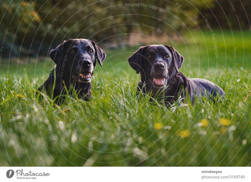 Zwei schwarze Labradore liegen in der Wiese Umwelt Natur Landschaft Herbst Schönes Wetter Gras Wald Hund 2 Tier Erholung genießen Zusammensein natürlich