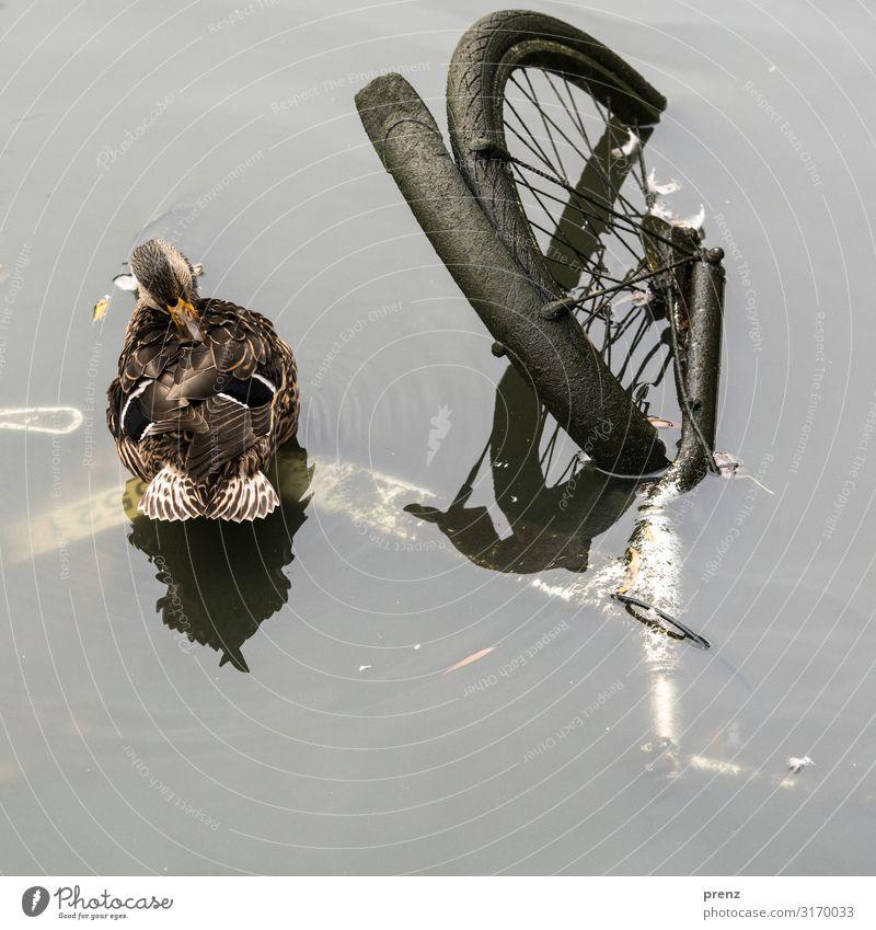 Umweltverschmutzung | Weltschmerz Natur Wasser Tier Traurigkeit braun grau Wetter Fahrrad dreckig Umweltschutz Teich Ente Schutzblech Erpel