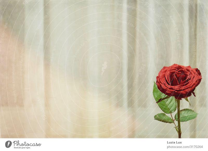 Letzte Rose Wohnung Dekoration & Verzierung Gardine Vorhang schön rot Gedeckte Farben Innenaufnahme Menschenleer Textfreiraum links Textfreiraum oben