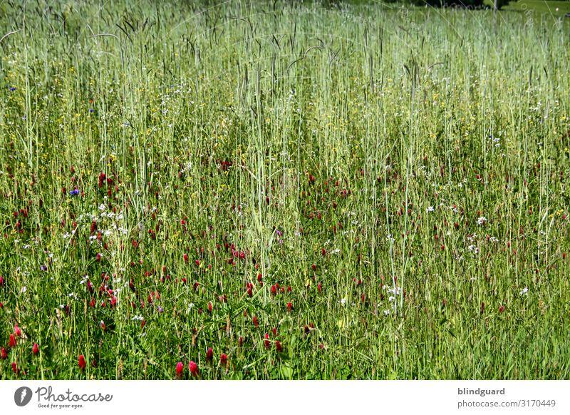 Wildblumenwiese Umwelt Natur Landschaft Pflanze Sommer Klima Klimawandel Schönes Wetter Blume Gras Blüte Grünpflanze Wildpflanze Wiese Fliege Biene