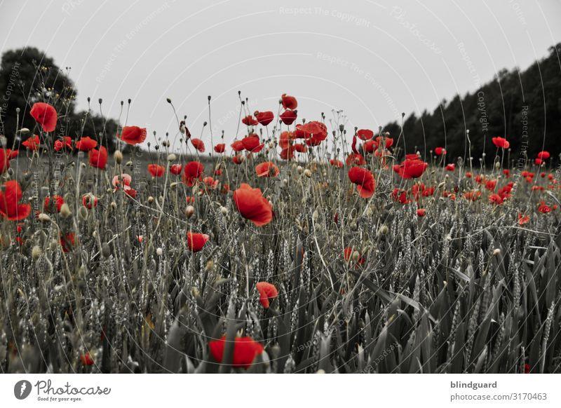 In Flanders fields Getreide Umwelt Natur Pflanze Himmel Sommer Klima Schönes Wetter Baum Blume Gras Blüte Grünpflanze Nutzpflanze Wildpflanze Wiese Feld Wald