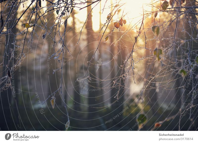 Morgenreife Natur Sonnenaufgang Sonnenuntergang Sonnenlicht Herbst Eis Frost Baum Blatt kalt Raureif gefroren Spinnennetz Gegenlicht Farbfoto Außenaufnahme