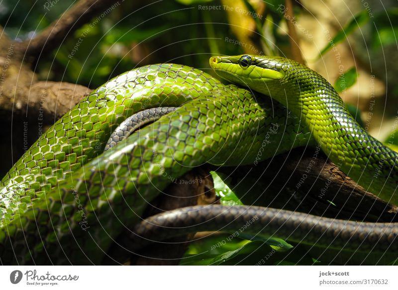 Warteschlangen Amazonas Aquarium Grüne Mamba 2 Tierpaar liegen authentisch bedrohlich exotisch glänzend grün Stimmung Wachsamkeit Sinnesorgane Schuppen berühren