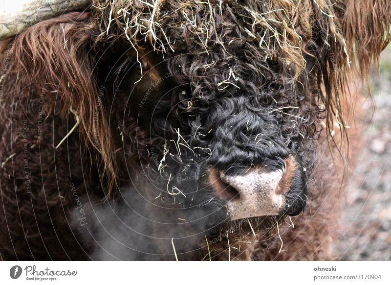 Hochlandrind atmet aus Luft Tier Nutztier Kuh Schottisches Hochlandrind Rind Bulle 1 kalt nachhaltig atmen Atem Viehzucht Tierzucht Farbfoto Außenaufnahme