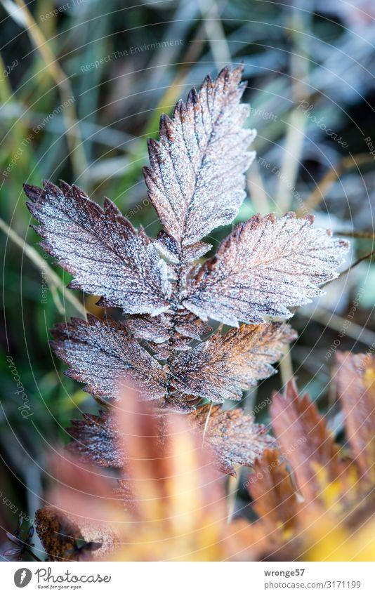 Erster Frost Natur Pflanze Herbst Winter Eis Gras Blatt Wiese kalt braun gelb grün Graswiese Raureif Nahaufnahme Makroaufnahme Hochformat bodennah Bodendecker