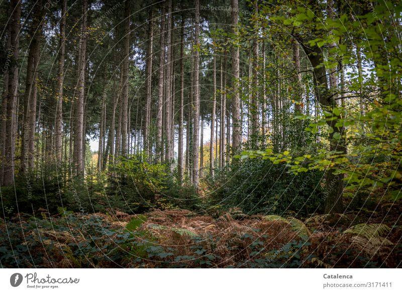 Wald Spaziergang Umwelt Natur Landschaft Pflanze Herbst Baum Sträucher Kiefer Haselnuss Brombeerbusch Farn Duft verblüht Wachstum authentisch nachhaltig braun