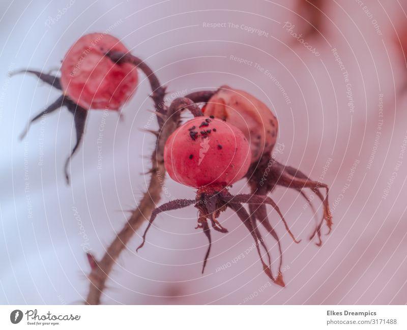 Herbstfrüchte Natur Pflanze Dürre Wildpflanze verblüht alt hässlich nah natürlich trocken rosa Farbfoto mehrfarbig Außenaufnahme Detailaufnahme Menschenleer Tag