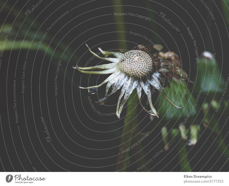 Verblühte Schönheit Natur Pflanze Wassertropfen Sommer Regen Blume Blüte Wildpflanze nass natürlich grün Löwenzahn Farbfoto Gedeckte Farben Außenaufnahme