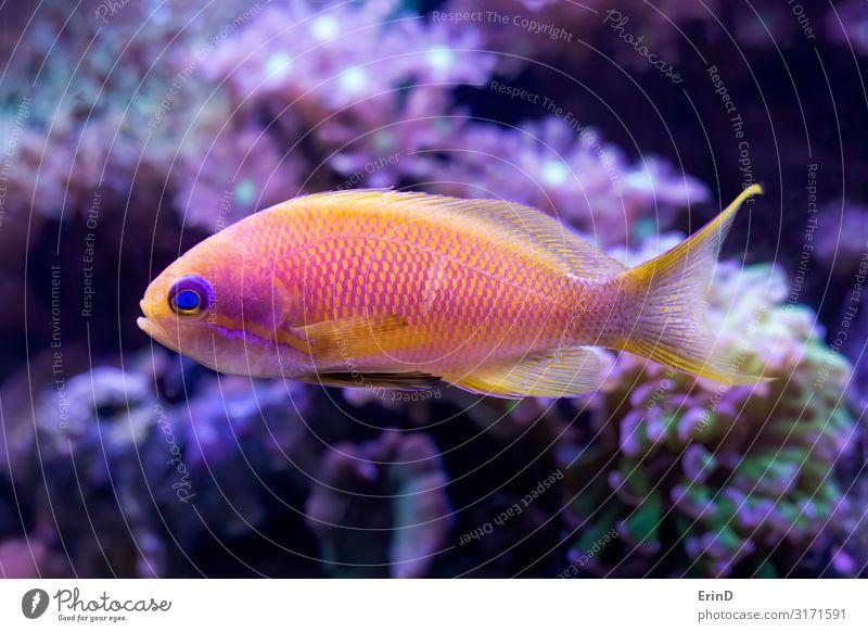 Leuchtend rosa und gelber Anthias Tropenfisch mit Korallen schön Gesicht Freizeit & Hobby Haus Natur Tier Haustier Aquarium lustig niedlich Farbe