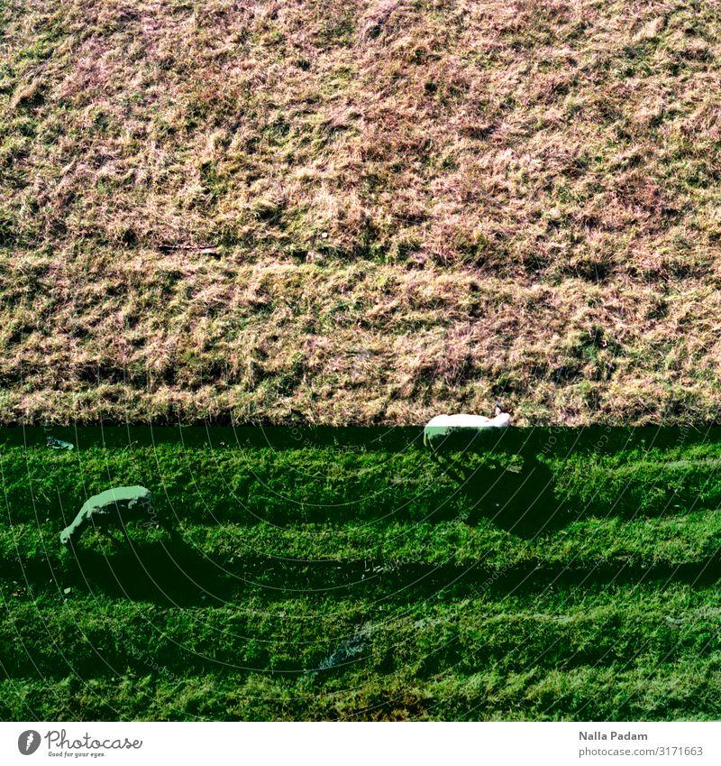 Rheinwiesenschafe Natur Landschaft Pflanze Tier Gras Düsseldorf Deutschland Europa Stadt Nutztier Schaf 2 grün weiß Farbfoto Außenaufnahme Menschenleer