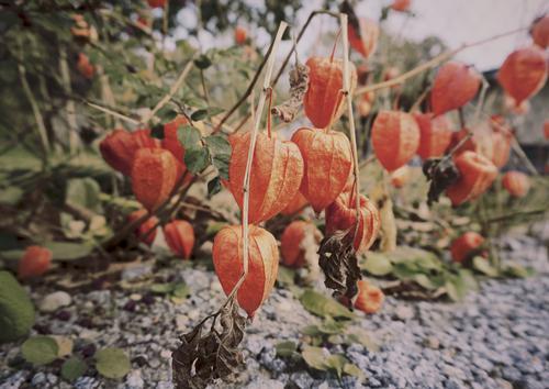 We are the Lampions, my friends Natur Pflanze rot Herbst Umwelt Zusammensein Erde Wachstum Sträucher Schönes Wetter viele unten hängen Physalis Lampionblume