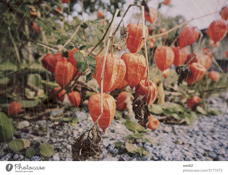 We are the Lampions, my friends Umwelt Natur Pflanze Erde Herbst Schönes Wetter Sträucher Lampionblume hängen Wachstum Zusammensein unten viele rot Physalis