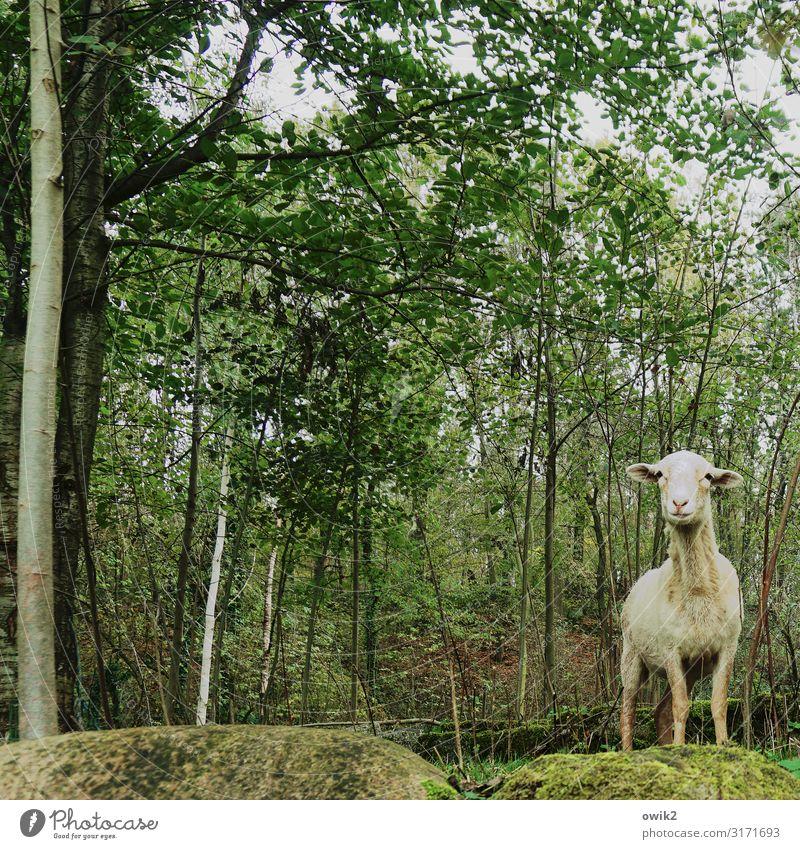 Alles unter Kontrolle Umwelt Natur Landschaft Pflanze Tier Himmel Schönes Wetter Baum Sträucher Wald Schaf 1 beobachten Blick stehen Neugier dünn achtsam