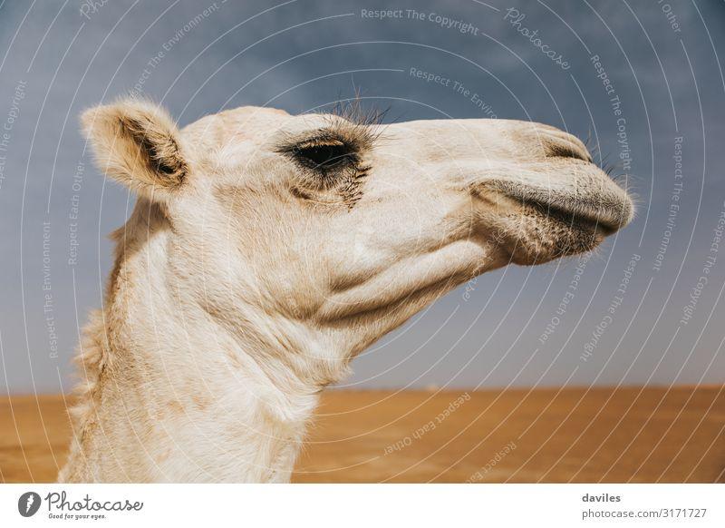 Profilansicht eines weißen Kamelkopfes in der Wüste Ferien & Urlaub & Reisen Tourismus Ausflug Abenteuer Safari Sommer Kunst Natur Landschaft Tier Sand Himmel