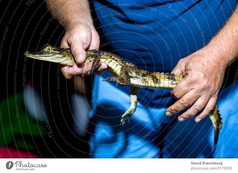 Crocodilehunter Ferien & Urlaub & Reisen Tourismus Abenteuer Sightseeing Expedition maskulin Arme Hand Finger Natur Urwald Moor Sumpf Fluss Wildtier 1 Tier