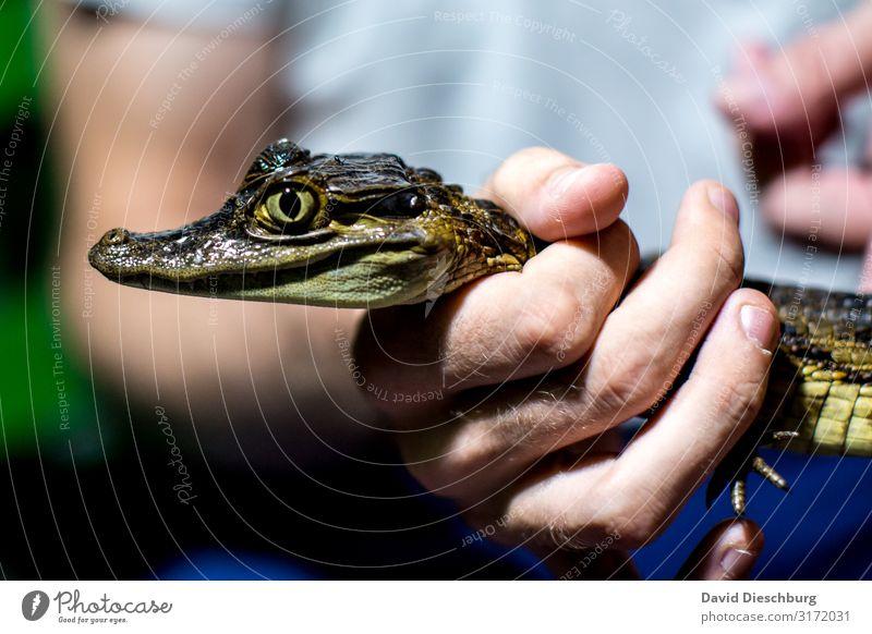 Gut festhalten! Ferien & Urlaub & Reisen Abenteuer Expedition Hand Wildtier 1 Tier Angst Todesangst Krokodil gefangen gefährlich Brasilien Amazonas Jäger